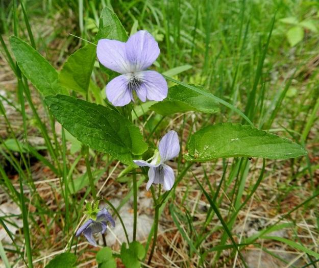 Viola canina subsp. ruppii - aho-orvokki subsp. isoaho-orvokki on tyypillisimmillään niukkavartinen. Teriö on yleisimmin sininen tai vaaleansininen. Terälehdet ovat kapeamman tai kuvan tavoin leveän vastapuikeat. EH, Asikkala, Hillilä, Syrjänsupat, suppa-alueen lounaispuolen metsäpolun laita, 7.6.2012. Copyright Hannu Kämäräinen.