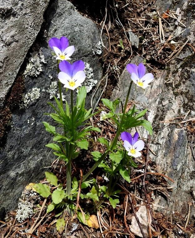 Viola tricolor - keto-orvokki on kallioilla ja kedoilla kasvaessaan yleensä noin 10-25 cm korkea. Kukkaperät ovat noin 3-10 cm pitkiä. Kukinnan alkuvaiheessa varren tyvilehdet ovat vielä voimissaan mutta kuihtuvat myöhemmin. Niiden lapa on puikea tai pyöreähkö ja noin 0,5-2 cm pitkä. Kuvassa näkyvät myös liuskaiset lehtikorvakkeet, joiden kärkiliuska on huomattavasti muita kookkaampi. Varsilehtien lapa kapenee ja pitenee latvaa kohti. EH, Hämeenlinna, Luhtiala, Aulangonjärven koillisrannan rantakalliojyrkänne, Levonkallio, 13.5.2018. Copyright Hannu Kämäräinen.