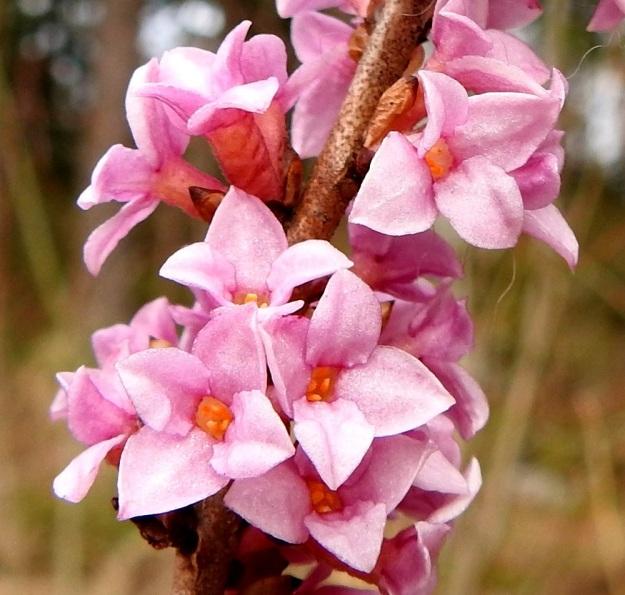 Daphne mezereum - lehtonäsiän hyväntuoksuinen kukka on teriötön, sillä sen kehä ei ole erilaistunut erillisiksi verhiöksi ja teriöksi. Kehä on vaaleanpunainen, sinipunainen tai hyvin harvoin valkoinen. EH, Hämeenlinna, Loimalahti, Hirsimäki, Metsälammentien ja Yli-Raakkulantien välinen havumetsäkaista, 28.3.2020. Copyright Hannu Kämäräinen.