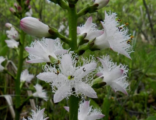 Menyanthes trifoliata - raatteen kukan teriö on yleensä noin 14-16 mm leveä ja suunnilleen samanpituinen sekä viisiliuskainen ja tyveltään kapeatorvinen. Teriönliuskat ovat tyviosastaan noin 5 mm:n matkalta yhdislehtiset ja yläosastaan sivulle taipuneet. Niiden sisäpinta on valkoinen ja tiheästi valko- ja paksuripsinen sekä ulkopinta erityisesti liuskojen kärjestä vaaleanpunertava. EH, Hämeenlinna, Luolaja, Hattelmalanjärven luoteisrannan pitkä suokiila, luonnonsuojelualue, 31.5.2012. Copyright Hannu Kämäräinen.