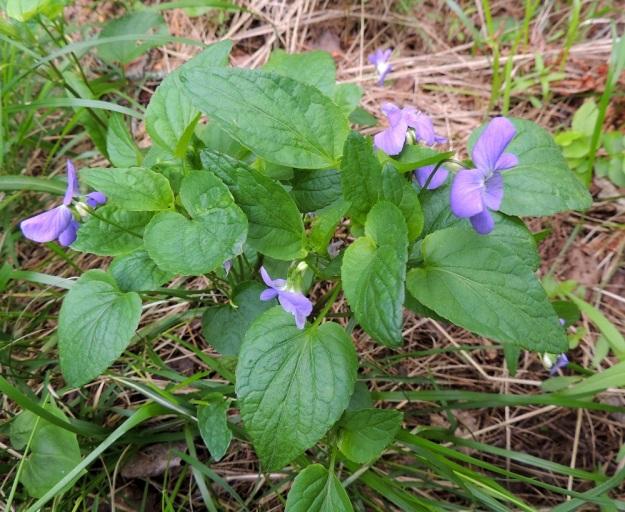 Viola canina subsp. ruppii x riviniana - isoaho-orvokin ja metsäorvokin sekamuotoisen risteymän lehdistä saa parhaan käsityksen ylhäältä päin kuvattuna. Samassakin yksilössä ylälehtien muoto vaihtelee herttamaisesta leveämmän tai kapeamman puikeaan sekä lyhyempi- ja pitempikärkiseen. Myös lehtien tyviloven syvyys vaihtelee voimakkaasti. Mielessään voi kuvitella, kuinka kahden, lehdiltään erinäköisen lajin perintötekijät ovat vatkautuneet sekaisin luomisen kirnussa, mutta lopputulos on kuitenkin jäänyt vähän kokkareiseksi. EH, Hämeenlinna, Vuorentaka, Kuralasta Vähä-Tertin ohi menevän metsätieuran laita, 7.6.2015. Copyright Hannu Kämäräinen.