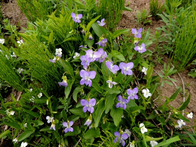Viola canina subsp. ruppii x stagnina - isoaho-orvokin ja rantaorvokin lähempänä isoaho-orvokkia olevan risteymän kasvustot ovat suppea-alaisempia. Kuva silti näyttää sangen puhuttelevasti, kuinka risteymä yhdessä peltokortteen, Equisetum arvense, kanssa levittäytyy keskelle rantaorvokin kasvustoa ja asteittain tukahduttaa sen. EH, Vesilahti, Mantere, Peltosaari, Hulausjärven rantaan vievän peltotien ison laitaojan rinne, 6.6.2015. Copyright Hannu Kämäräinen.