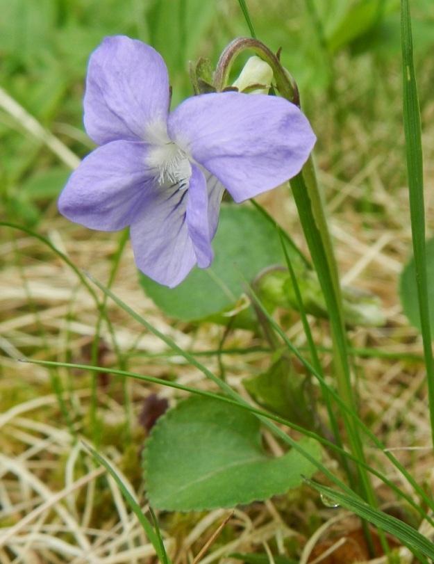 Viola riviniana - metsäorvokin kukan neljä ylempää terälehteä ovat leveähkön vastapuikeat ja yleensä limittäiset sekä pyöreähköpäiset. Ne ovat useimmiten noin 13-18 mm pitkät ja leveimmältä kohtaa noin 6-9 mm leveät. Alaviistoon osoittavien terälehtien tyviosassa on tiheä ryhmä läpinäkyviä karvoja. Alimmainen, kannuksellinen terälehti on leveähkön vastapuikea ja pyöreä-, tylppä- tai lovipäinen sekä ilman kannusta yleensä noin 13-17 mm pitkä ja leveimmältä kohtaa noin 7-10 mm leveä. Kannus on yleisimmin kuvan tavoin valkoinen. EH, Hämeenlinna, Loimalahti Hirsimäki, omakotialue, metsänlaita Näsiäntien varrella, 17.5.2012. Copyright Hannu Kämäräinen.