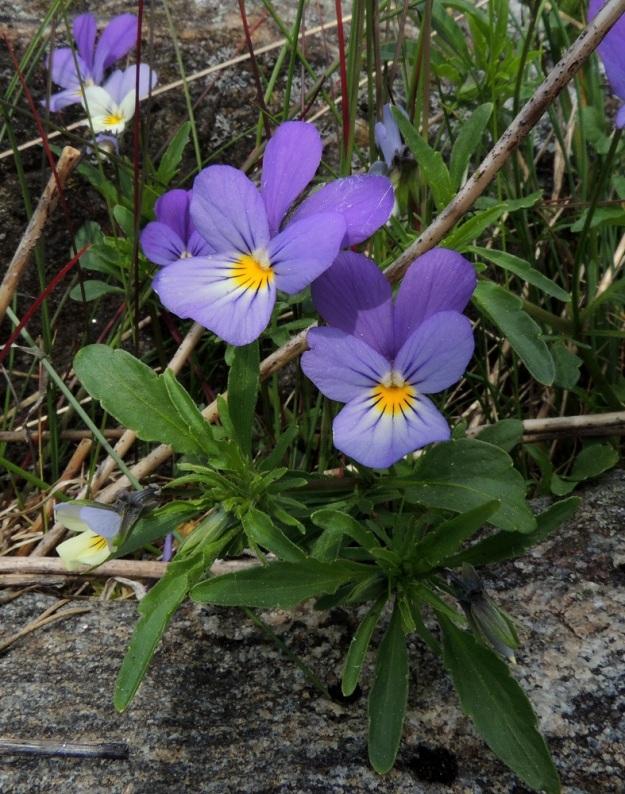 Viola tricolor - keto-orvokin teriö on tavallisesti noin 15-25 mm pitkä ja noin 12-20 mm leveä. Alin terälehti on yleensä aina selvästi muita leveämpi. Varsilehtien lapa on nyhälaitainen ja puikea, soikea tai suikea. Se on yleensä noin 1-4 cm pitkä ja leveimmältä kohtaa noin 0,5-1 cm leveä. Korvakkeet ja varsinkin niiden kärkiliuska ovat niin lehtimäiset, ettei niitä aina helposti erota kasvamassa olevista kärkilehdistä. U, Sipoo, Kalkkiranta, Kalkkirannantien päässä oleva laakea rantakallioalue sataman vieressä, 21.5.2016. Copyright Hannu Kämäräinen.