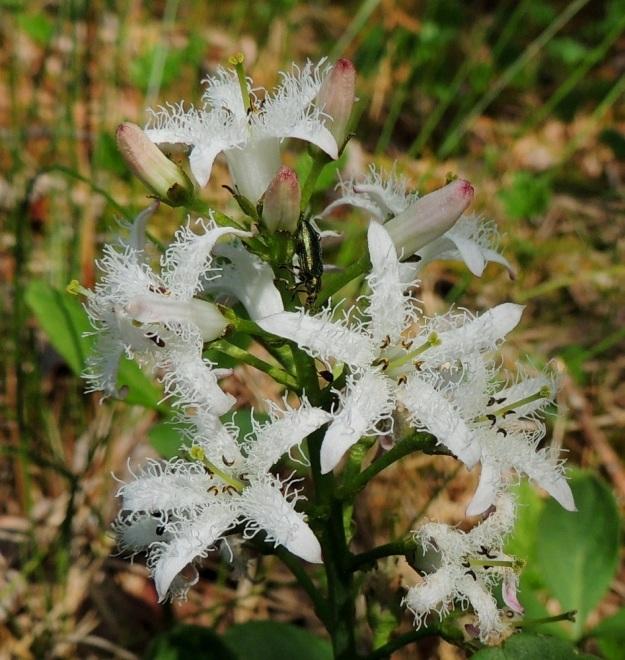 Menyanthes trifoliata - raatteen kukassa on viisi hedettä, jotka ovat yhteenkasvaneet teriön tyviosan kanssa. Emi on yksivartaloinen ja kaksiluottinen. Kukan pölyttäjinä toimivat mesipistiäiset. Koristeelliset terälehtien sisäpinnan ripset torjunevat pienempien ja hyödyttömien hyönteisten tunkeutumista sikiäimen tyvellä olevalle mesiäiselle. Mikä sen sijaan on saanut hohtavaselkäisen maakiitäjäisen kiipeämään kukkaterttuun? Saalistaako se puolestaan muita meden perässä kulkevia hyönteisiä? EH, Hämeenlinna, Pullerinmäki, Ahvenistonharjun juurella olevan Kahtoilammen rantasoistuma, 25.5.2014. Copyright Hannu Kämäräinen.