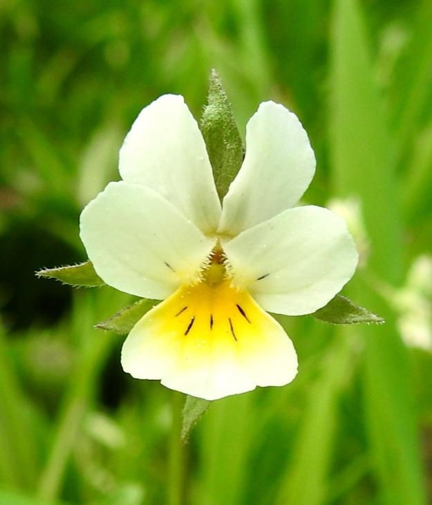 Viola arvensis - pelto-orvokin teriö on noin 10-15 mm pitkä ja noin 8-10 mm leveä. Terälehdet ovat yleensä valkoiset tai kellanvalkoiset. Alimman terälehden tyvi on keltainen ja suoniltaan tummanvioletti. Tummasuonisuutta on enemmän tai vähemmän myös keskimmäisten terälehtien tyviosassa, jossa on myös tiheä ryhmä läpinäkyviä karvoja. Teriön nielussa ei ole, kuten keto-orvokilla, V. tricolor,  huulimaista reunaa, joten oranssit heteet pilkistävät näkyviin. EH, Hämeenlinna, Loimalahti, Hirsimäki, Sammontorpantien varsi puistoalueen laidassa, maakasan pohja, 28.5.2020. Copyright Hannu Kämäräinen.