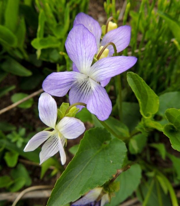 Viola canina subsp. ruppii - aho-orvokin subsp. isoaho-orvokin teriö voi harvemmin olla myös sinipunainen ja hyvin harvoin valkoinen. Kuvan yksilössä väriä ei ole juurikaan riittänyt nuorimpaan kukkaan. EH, Vesilahti, Mantere, Peltosaari, Hulausjärven rantaan vievän peltotien ison laitaojan rinne, 6.6.2015. Copyright Hannu Kämäräinen.