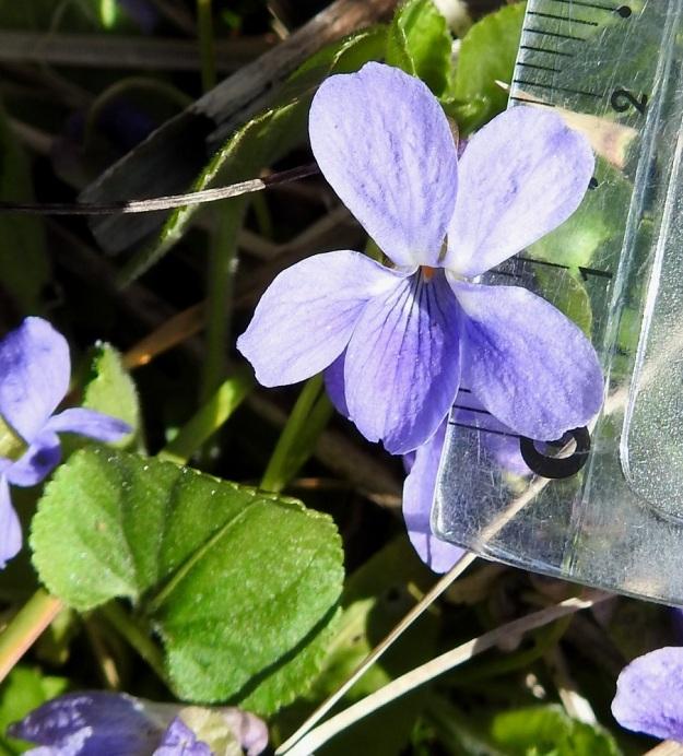 Viola hirta - karvaorvokin teriö on tavallisesti noin 15-22 mm (kuvassa 21 mm) pitkä ja suunnilleen saman levyinen. Kukan nielusta pilkistää oranssinvärinen hetiö, joka on tiiviisti sulkeutunut sikiäimen ympärille. Emin ainokainen luotti on kuvan kukassa vain hieman heteitä pitempi. V, Turku, Iso-Heikkilä, teollisuusalue, Aakenkadun ja radan välinen ojapainanne laita-alueineen. 9.5.2020. Copyright Hannu Kämäräinen.