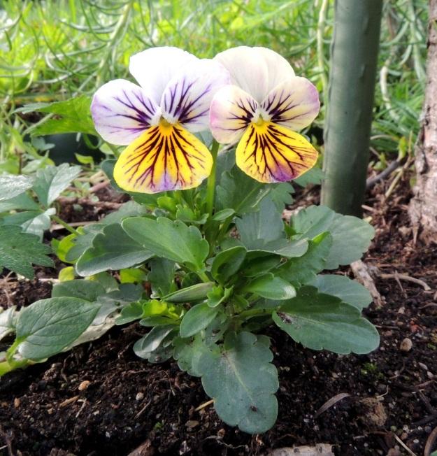 Viola xwittrockiana - tarhaorvokin alempien lehtien lapa on useimmiten puikea tai soikeahko ja tyveltään kiilamainen tai matalalovinen. Lehtilaita on nyhä- tai tylppähampainen. Pituutta lehtilavalla on tavallisesti noin 2,5-5 cm ja leveyttä leveimmältä kohtaa noin 1,5-3 cm. Ruoti on yleensä noin 1-3 cm pitkä. EH, Hämeenlinna, Loimalahti, Hirsimäki, omakotialue, Näsiäntien varsi, samana vuonna istutetun puuntaimen tyvi, johon tullut ilmeisesti taimen tai maan mukana, 23.8.2016. Copyright Hannu Kämäräinen.
