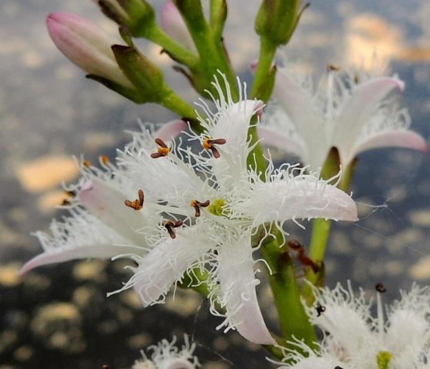 Menyanthes trifoliata - raatteen kukan heteiden palhot ovat valkoiset ja erikoisen näköiset ponnet sinipunaiset tai punaruskeat. Ristipölytyksen varmistamiseksi osassa kukkia heteiden ponnet ovat ylimpänä ja emin luotit niitä alempana. Osassa kukkia tilanne on päinvastoin. EH, Hämeenlinna, Pullerinmäki, Ahvenistonharjun juurella olevan Kahtoilammen rantasoistuma, 25.5.2014. Copyright Hannu Kämäräinen.