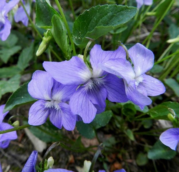 Viola canina subsp. ruppii x riviniana - isoaho-orvokin ja metsäorvokin risteymän teriöt ovat siniset tai sinipunaiset. Niistä ei löydy sellaisia tuntomerkkejä, joiden perusteella voisi varmistua risteymästä, koska kantalajienkin teriöiden vaihteluväli menee päällekkäin. Kuvan keskimmäisen kukan terälehtiin tosin hyönteistoukka on luonut joitakin erityispiirteitä. 7.6.2012 EH, Asikkala, Hillilä, Syrjänsupat, suppa-alueella kulkevan metsäpolun laita, 7.6.2012. Copyright Hannu Kämäräinen.