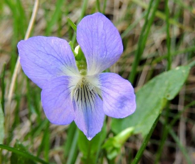 Viola canina subsp. ruppii - aho-orvokin subsp. isoaho-orvokin teriö on tavallisesti noin 15-25 mm pitkä ja noin pituutensa levyinen. Neljä ylempää terälehteä ovat yleensä noin 10-14 mm pitkät ja leveimmältä kohtaa noin 4-8 mm leveät. Alaviistoon osoittavien terälehtien tyviosassa on tiheä ryhmä läpinäkyviä karvoja. Alimmainen terälehti on ilman kannusta yleensä noin 13-17 mm pitkä ja leveimmältä kohtaa noin 6-9 mm leveä. EH, Hämeenlinna, Vuorentaka, Kuralasta Vähä-Tertin ohi menevän metsätieuran laita, 22.5.2014. Copyright Hannu Kämäräinen.
