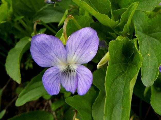 Viola canina subsp. ruppii x stagnina - isoaho-orvokin ja rantaorvokin risteymän teriö on useimmiten noin 15-20 mm pitkä ja noin saman levyinen. Ylimmät terälehdet ovat suhteessa molempia kantalajejaan kookkaammat ja tekevät teriöstä oman näköisensä . Kuvan kasvupaikalle ne ovat noin 7-10 mm leveät. EH, Vesilahti, Mantere, Peltosaari, Hulausjärven rantaan vievän peltotien ison laitaojan rinne, 6.6.2015. Copyright Hannu Kämäräinen.