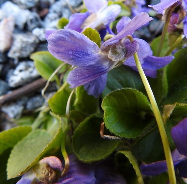 Viola hirta - karvaorvokin verholedet ovat puikeat, lyhyesti tylppäkärkiset ja kaljuhkot. Pituutta niillä on tyvilisäkkeen kanssa tavallisesti noin 5-7 mm ja leveyttä leveimmältä kohtaa noin 2,5-3,5 mm. Tyvilisäkkeet ovat lähes pyöreämuotoiset ja noin 0,5-1 mm pitkät. Kannus on noin 2-4 mm pitkä, suora tai kuvan tavoin päästään jyrkästi ylöspäin kääntynyt ja yleensä punavioletti. Kannuksen pää ulottuu selvästi verholehtien tyvilisäkkeitä ulommaksi. V, Turku, Iso-Heikkilä, teollisuusalue, Aakenkadun ja radan välinen ojapainanne laita-alueineen. 9.5.2020. Copyright Hannu Kämäräinen.