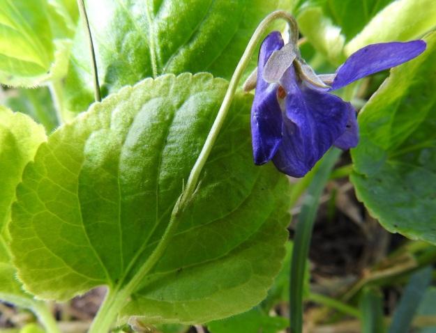 Viola odorata - tuoksuorvokin kukkaperä on hyvin lyhytkarvainen. Sen puolivälin yläpuolella on kaksi rinnakkaista tai allekkain olevaa, kapeansuikeaa ja teräväkärkistä esilehteä, jotka ovat yleensä noin 4-5 mm pitkiä. Verholehdet ovat puikeat tai lähes tasalevyiset, pyöreä- tai tylppäkärkiset ja kaljuhkot. Ne ovat tyvilisäkkeen kanssa tavallisesti noin 5-6,5 mm pitkät ja leveimmältä kohtaa noin 2,5-3,5 mm leveät. Tyvilisäkkeet ovat yleensä noin 1-2 mm pitkät. Kannus on useimmiten noin 3-4,5 mm pitkä ja terälehtien värinen. Sen pää ulottuu selvästi verholehtien tyvilisäkkeitä ulommaksi. U, Helsinki, Hakuninmaa, Kousatieltä lähtevän kävelytien laide harvahkon metsäalueen reunassa, puutarhajätteen mukana saapunut karkulainen, 7.5.2020. Copyright Hannu Kämäräinen.