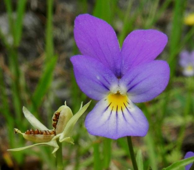 Viola tricolor - keto-orvokin terälehdet ovat yleensä noin 10-14 mm pitkät lukuun ottamatta alimman terälehden kannusta. Alimman terälehden leveys on tavallisesti noin 6-12 mm ja muiden terälehtien noin 5-9 mm. Keskimmäisten terälehtien tyviosassa on tiheä ryhmä läpinäkyviä karvoja. Heteet ja luotti eivät näy karvojen ja niiden välistä pilkottavan huulimaisen reunan takaa. Kota avautuu alas asti paljastaen vaaleanruskeat, soikeat ja noin 1,5-2.5 mm pitkät siemenet. EH, Hämeenlinna, Luhtiala, Aulangonjärven koillisrannan rantakalliojyrkänne, Levonkallio, 23.6.2012. Copyright Hannu Kämäräinen.