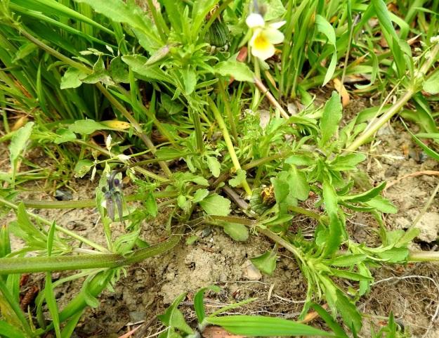 Viola arvensis - pelto-orvokki on ainakin multavilla paikoilla kasvaessaan usein tyveltä runsaastikin haarova. Tällöin päävarsi on pysty ja sivuhaarat levittäytyvät ensin lähes maata myöten ja kaartuvat sitten ylempää pystyyn. EH, Hämeenlinna, Loimalahti, Hirsimäki, Sammontorpantien varsi puistoalueen laidassa, maakasan pohja, 28.5.2020. Copyright Hannu Kämäräinen.