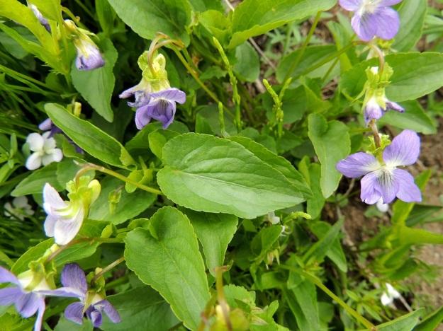 Viola canina subsp. ruppii x stagnina - isoaho-orvokin ja rantaorvokin risteymän kukkaperien esilehdet ovat kantalajien tapaan yläosassa, lähellä kukkaa. Verholehdet olivat kuvan kasvupaikalla tyvilisäkkeineen noin 8-9 mm pitkät ja leveimmältä kohtaa noin 2 mm leveät eli mitoiltaan mahtuvat hyvin molempien lajien vaihtelun piiriin. Myös lähempänä isoaho-orvokkia olevalla risteymällä teriön kannus ja verholehtien tyvilisäkkeet ylsivät noin samalle tasolle tai kannus oli hivenen ulompana. EH, Vesilahti, Mantere, Peltosaari, Hulausjärven rantaan vievän peltotien ison laitaojan rinne, 6.6.2015. Copyright Hannu Kämäräinen.