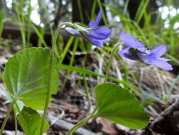 Viola riviniana - metsäorvokin kukat eivät aina suostu nuokkumaan, vaan voivat varjoisassa metsässä kääntyä ylös valoa kohti. Teriöiden kannukset eivät kuvan yksilöllä edusta tavallisinta valkoista tyyppiä, vaan ovat enemmän tai vähemmän siniset. Kukkaperän yläosassa on kaksi rinnakkaista tai allekkain olevaa, neulamaista esilehteä, jotka ovat yleensä noin 3-5 mm pitkiä. St, Sastamala, Vammala, Kaltsila, Poukonvuoren lehtometsärinne, 16.5.2019. Copyright Hannu Kämäräinen.