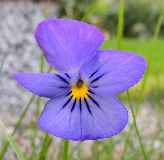 Viola xwittrockiana - tarhaorvokin keskimmäisten terälehtien tyvellä on tiivis ryhmä läpinäkyviä karvoja. Nielusta puuttuu keto-orvokille, V. tricolor, tunnusomainen, huulimainen reuna, joten oranssien heteiden kärki ja paksu emin luotti pilkistävät esiin. Kukasta näyttäisi puuttuvan toinen ylimmistä terälehdistä, mutta se on vain taipunut niin kohtisuoraan taaksepäin, että on jäänyt muiden terälehtien taakse. EH, Hämeenlinna, Loimalahti, Hirsimäki, omakotialue, Näsiäntien varsi, autotallin vieruskivikko, 23.8.2016. Copyright Hannu Kämäräinen.