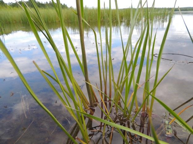 Butomus umbellatus - sarjarimmen lehdet ovat jäykät, kolmikulmaiset, tasasoukat ja suippokärkiset. Ne ovat tavallisesti noin 40-80 cm pitkät ja noin 5-10 mm leveät. Upoksissa olevien kasvustojen lehdet ovat velttoja ja yleensä pitempiä. EH, Hämeenlinna, Katinen, Katumajärven länsiranta, uimarannan viereinen kosteikkoranta, 28.6.2014. Copyright Hannu Kämäräinen.