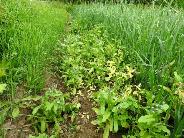 Anchusa arvensis - peltorasti on Suomessa muinaistulokas, joka on levinnyt varsin tehokkaasti viljan siementen mukana. Nykyisin, kun siemenet ovat puhtaampia ja rikkakasveja torjutaan kemiallisesti, peltorasti on käynyt yhä harvinaisemmaksi. Silti sen nimensä mukaisesti yhä varmimmin löytää peltojen laiteilta. EH, Hämeenlinna, Luolaja, Pollentien ja Mäkilaurilantien kulmauksen kapeahko, kauraa kasvava peltokaistale, 26.6.2018. Copyright Hannu Kämäräinen.