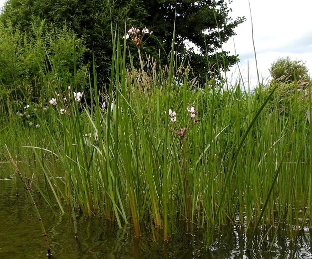 Butomus umbellatus - sarjarimpi kasvaa matalahkossa rantavedessä, jossa se kukkii yleensä aika niukasti. Se selviää kyllä syvemmälläkin, missä se muuttuu marroksi uposkasviksi. Ilmaversoisten kasvustojen korkeus on pohjasta mitaten tavallisesti noin 70-130 cm. EH, Hattula, Pelkola, Lehijärven länsirannan Haikonlahti, vene- ja uimaranta, 22.7.2020. Copyright Hannu Kämäräinen.