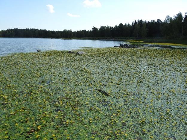 Nymphoides peltata - keltalammikki tavattiin kuvan vesistöstä tulokkaana ensimmäisen kerran 2013. Silloin paikalla oli pieni kasvusto. Vuonna 2018 erillisiä kasvualueita oli jo 15 ja niistä suurimmat hehtaarien kokoisia lauttoja. Kuvan rantaa seuraileva, yhtenäinen kasvustovyö oli lähes 200 m pitkä ja enimmäkseen noin 20 m leveä. V, Raisio, Hauninen, Haunisten allas (tekojärvi), eteläpää, 27.7.2018. Copyright Hannu Kämäräinen.