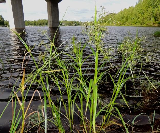 Scirpus radicans - juurtokaisla on tavallisesti noin 50-100 cm korkea. Se kasvaa erittäin uhanalaisena vain muutamassa maan etelä- ja kaakkoiskulman eliömaakunnassa. Sen kasvupaikkoina ovat liejuiset ja tulvivat järvien ja jokien rannat sekä rantaniityt. Laji voi kasvaa kuvan tavoin myös matalassa rantavedessä. PK, Joensuu, Karsikko, Pielisjoen eteläranta Pekkalan sillan länsipuolella, 10.7.2015. Copyright Hannu Kämäräinen.