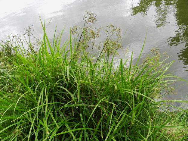 Scirpus sylvaticus - korpikaisla on tavallisesti noin 50-100 cm korkea. Se muodostaa rönsyävän juurakkonsa avulla usein tiheitä ja laajojakin kasvustoja märille tai riittävän kosteille paikoille. Varsinainen vesikasvi se ei ole. EH, Hämeenlinna, Aulanko, Joutsenlammen ranta, 30.7.2011. Copyright Hannu Kämäräinen.