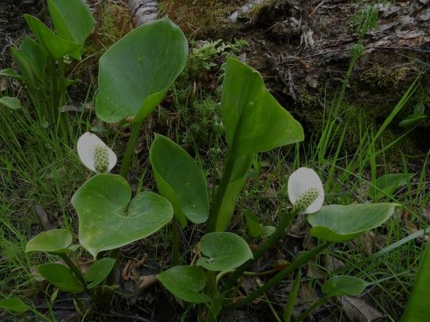 Calla palustris - suovehka on kukintoa lukuun ottamatta aika tasaisen vihreä. Sen varret ja lehtiruodit ovat mehevät ja pehmeähköt mutta kuitenkin varsin tanakat. EH, Hämeenlinna, Pullerinmäki, Ahvenistonharjun juurella olevan Kahtoilammen rantasuo, 1.6.2012. Copyright Hannu Kämäräinen.