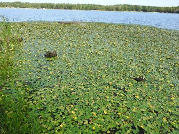 Nymphoides peltata - keltalammikki viihtyy ravinteikkaissa lammissa, altaissa ja lammikoissa sekä hitaasti virtaavissa joissa. Kasvustot yltävät aivan matalasta rantavedestä lähes kolmen metrin syvyyteen asti. Koristeellisuudestaan huolimatta se on haitallinen vieraslaji, joka tiiviin yhtenäisillä kasvustoillaan tukahduttaa muut lajit. Kasvustolautoista syntyy paljon hajoavaa kasvimassaa, joka kuluttaa vedestä hapen ja käynnistää näin lisäravinteiden vapautumisen pohjasta. V, Raisio, Hauninen, Haunisten allas (tekojärvi), eteläpää, 27.7.2018. Copyright Hannu Kämäräinen.