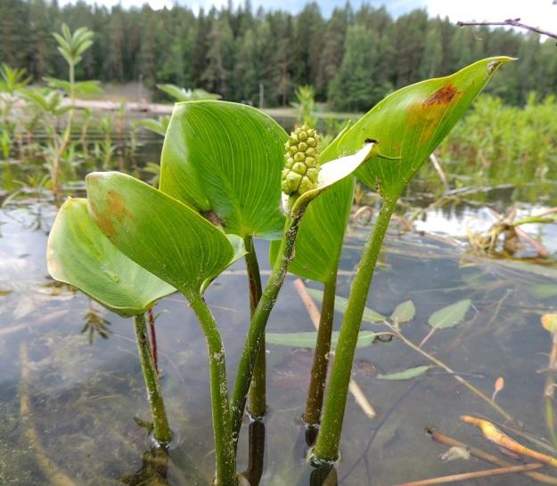 Calla palustris - suovehka voi kasvaa myös avovedessä, rannan tuntumassa. Kuvan vasemmassa alakulmassa näkyy pohjassa suikertava, paksu juuri. Korkeutta suovehkalla on tavallisesti 15-40 cm. Sen varret ja lehtiruodit ovat noin 10-25 cm pitkiä. Lehtilapa on molemmin puolin samanvärinen ja kaarevasti silposuoninen. EH, Hämeenlinna, Ahvenisto Ahvenistonjärven eteläpää, luonnonsuojelualue, rantavesi, 3.7.2014. Copyright Hannu Kämäräinen.