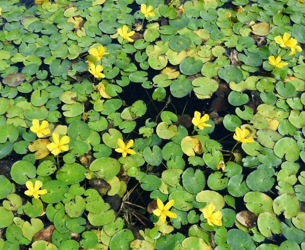 Nymphoides peltata - keltalammikki on kelluvavartinen ja -lehtinen vesikasvi, joka kasvattaa runsaasti pitkiä, pohjassa suikertavia ja juurehtivia rönsyjä. Niistä nousevat ja haarautuvat veden syvyyden mukaan noin 15-250 cm pitkät ja noin 4-5 mm paksut varret. Lehdet nousevat ruodiltaan varsien mittaisina suoraan rönsyistä tai lyhytruotisempina varren kärkiosasta, johon kasvavat myös keltaiset kukat. V, Raisio, Hauninen, Haunisten allas (tekojärvi), eteläpää, 27.7.2018. Copyright Hannu Kämäräinen.