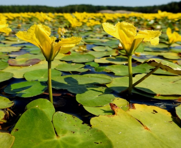 Nymphoides peltata - keltalammikin kukkaperä nostaa kukat selvästi vedenpinnan yläpuolelle, ainakin pienemmän aaltoilun tavoittamattomiin. Kelluvasta varren kärkiosasta nousevat näkyviin vain kukkivat kukat. Vasta kehittymässä olevat ja jo kukkineet kukat ovat vedessä lehtikatoksen alla ja tehostavat osaltaan kelluntaa ja sen vakautta. V, Raisio, Hauninen, Haunisten allas (tekojärvi), eteläpää, 27.7.2018. Copyright Hannu Kämäräinen.