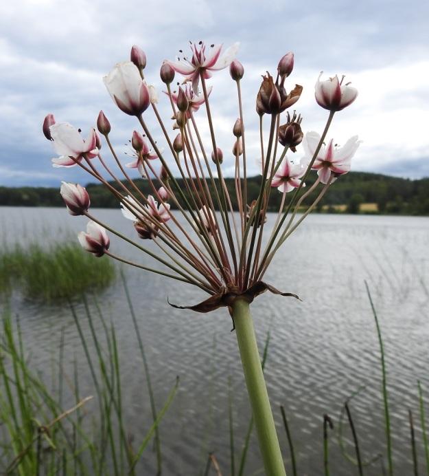 Butomus umbellatus - sarjarimmen kukinto on useimmiten 10-40-kukkainen. Kukintakausi on pitkä, koska kerrallaan vain osa kukista on avoimina. Sarjassa on runsaasti nuppuja vielä silloin, kun vanhimmat kukat ovat siirtymässä jo hedelmävaiheeseen. EH, Hattula, Pelkola, Lehijärven länsirannan Haikonlahti, vene- ja uimaranta, 22.7.2020. Copyright Hannu Kämäräinen.