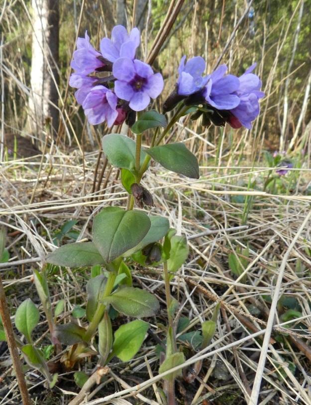 Pulmonaria obscura - lehtoimikkä on tavallisesti noin 15-30 cm korkea. Varsilehtiä on yleensä useita ja ne ovat varrella kierteisesti. Ne voivat olla kaikki ruodittomia, kuten kuvassa tai alimmissa on toisinaan lyhyt ruoti. Nykyisin kukinta alkaa usein jo huhtikuun loppupuolella. Kuvan yksilössäkin suurin osa kukista on ikääntyneempiä ja sinisävyisiä, vaikka kuvausajankohta on toukokuun alku. EH, Hämeenlinna, Luhtiala, Aulangonjärven kaakkoiskulma Käärmekallion alapuolella, rehevä rantalehto, 2.5.2012. Copyright Hannu Kämäräinen.