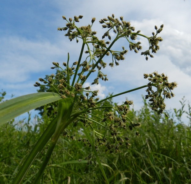 Scirpus sylvaticus - korpikaislan kukinto on yleensä yli satatähkäinen ja kukkiessaan lähes pallomainen. Läpimitaltaan se on tavallisesti 10-20 cm. EH, Hämeenlinna, Pullerinmäki, Tiiriö, Pitkätanhuankadun laitaojan varsi, 16.6.2012. Copyright Hannu Kämäräinen.