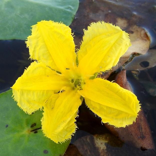 Nymphoides peltata - keltalammikin kukan teriönliuskat ovat ulkonäöltään erikoiset. Ne ovat soikeat tai vastapuikeat, keskiosastaan vähän paksummat, laitaosiltaan ohuemmat ja epäsäännöllisen suonikkaat sekä reunoiltaan pitkähköripsiset. Pituutta niillä on yleensä noin 20 mm ja leveyttä leveimmältä kohtaa noin 8-10 mm. V, Raisio, Hauninen, Haunisten allas (tekojärvi), eteläpää, 27.7.2018. Copyright Hannu Kämäräinen.