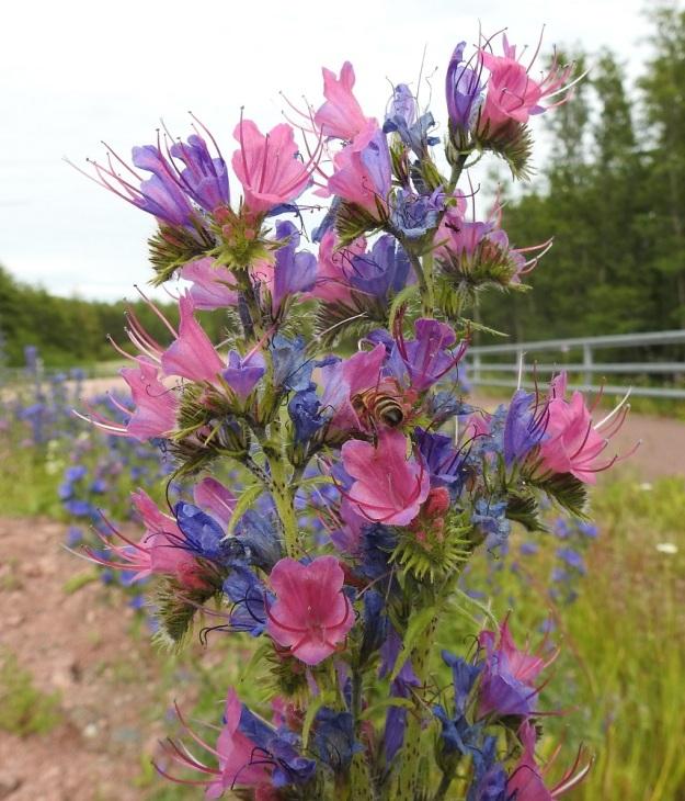 Echium vulgare - kyläneidonkielen nuput ja aukeava kukka ovat vaaleanpunaiset. Yleensä väri muuttuu siniseksi niin nopeasti, että kasvustot näyttävät useimmiten vain sinikukkaisilta, kuten tämäkin kuvasarja osoittaa. Toisinaan kuitenkin vaaleanpunainen sävy säilyy pitempään ja tekee kukinnosta huomattavan koristeellisen ja näyttävän. Kuvan yksilössä väri vaihtuu siniseksi vasta ikääntyneissä ja lakastuvissa kukissa. Työn touhussa myös tarha- eli kesymehiläinen, Apis mellifera. A, Eckerö, Marbyön, Marby, maantien 1 laita, 9.7.2017. Copyright Hannu Kämäräinen.