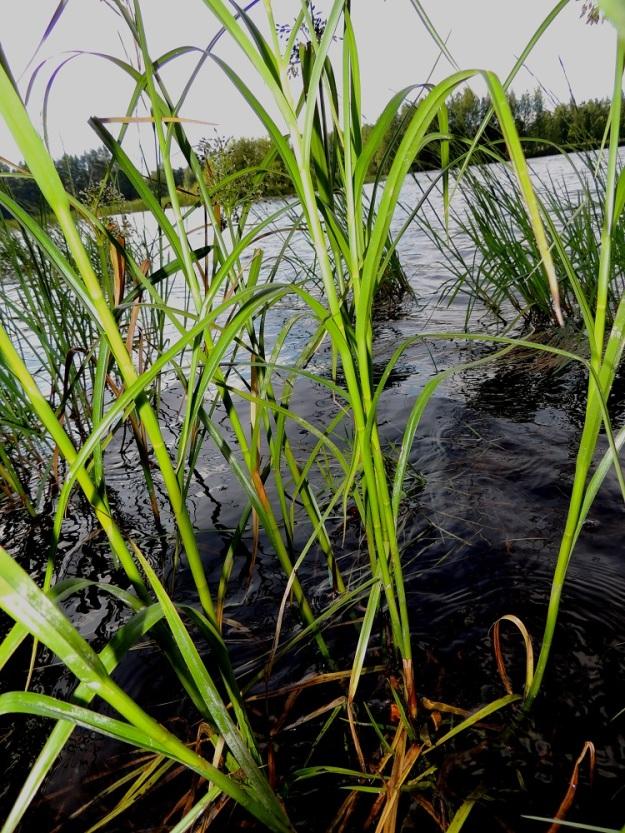 Scirpus radicans - juurtokaislan lehtilapa on tavallisesti noin 20-35 cm pitkä, tasasoukka ja hyvin pitkäsuippuisen teräväkärkinen sekä leveimmältä kohtaa noin 6-10 mm leveä. Kukintavaiheessa yksi tai kaksi alinta lehteä ovat jo lakastuneet tai lakastumassa. PK, Joensuu, Karsikko, Pielisjoen eteläranta Pekkalan sillan länsipuolella, 10.7.2015. Copyright Hannu Kämäräinen.