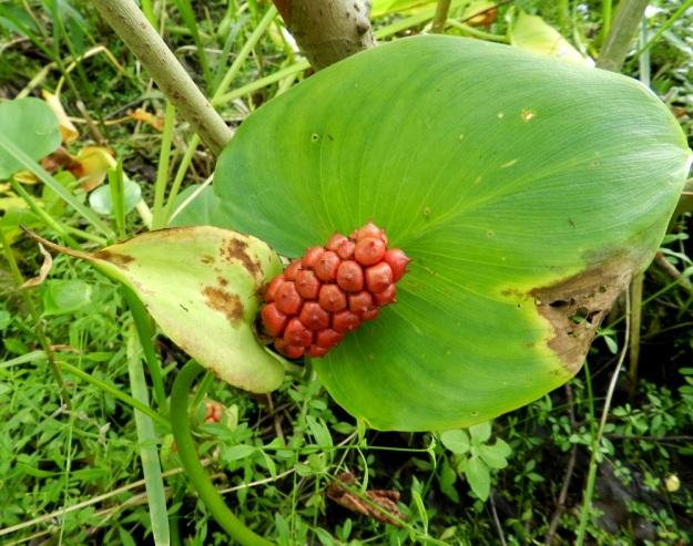 Calla palustris - suovehkan puikilossa on usein 40-50 marjaa. Kypsinä ne ovat punaisia. EH, Hämeenlinna, Keinusaari Varikonniemi, Vanajaveden itäranta, hyvin vetinen rantasoistuma, 14.8.2011. Copyright Hannu Kämäräinen.
