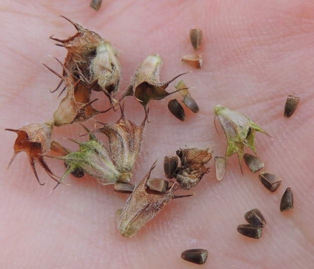 Leonurus cardiaca subsp. villosus - rohtonukulan subsp. villarohtonukulan verhiöt ovat kellomaiset, kärjestään viisiliuskaiset ja vahvan kohosuoniset. Niiden pituus ilman kärkiliuskoja on tavallisesti noin 5-5,5 mm. Kärkiliuskat ovat leveätyvisen piikkimäiset ja yleensä noin 2-3 mm pitkät. Verhiöt ovat kauttaaltaan siirottavakarvaiset. Lohkohedelmän hedelmykset ovat kolmisärmäisiä, ulkopinnaltaan hyvin lyhytkarvaisia ja noin 2,5-3 mm pitkiä. EH, Kouvola, Kuusankoski, Saksanahon entinen, peitetty teollisuuskaatopaikka, Savonsuo, täyttöalueen eteläosa, 6.9.2015. Copyright Hannu Kämäräinen.