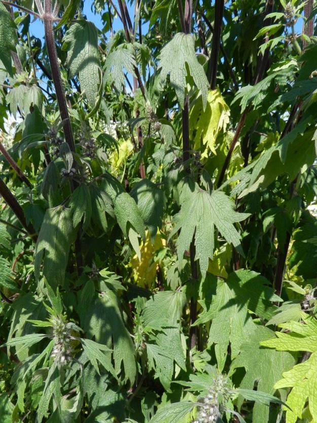 Leonurus cardiaca subsp. villosus - rohtonukulan subsp. villarohtonukulan varret ovat ainakin alaosastaan sinipunaiset. Kukinnon alapuolisten lehtien lapa on hertta- tai suorahkotyvinen ja yleisimmin viisiliuskaisesti sormijakoinen. Liuskat ovat teräväkärkisiä, iso- ja terävähampaisia sekä alimmissa lehdissä usein myös lyhyesti toistamiseen sivuliuskaisia. Lehtilapa on tavallisesti noin 6-12 cm pitkä ja leveimmältä kohtaa suunnilleen saman levyinen. Ruoti on yleensä 3-10 cm pitkä. U, Helsinki, keskusta, Töölönlahden eteläpään kaakkoiskulman ja rata-alueen välinen joutomaa-alue Finlandia-talon pohjoispuolella, 6.7.2012. Copyright Hannu Kämäräinen.