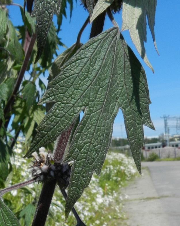 Leonurus cardiaca subsp. villosus - rohtonukulan subsp. villarohtonukulan osakukintojen kolmiliuskaisten tukilehtien lapa on aivan ylimpiä lukuun ottamatta noin 3-7 cm pitkä ja leveimmältä kohtaa noin 1,5-5 cm leveä. Niiden ruoti on noin 1-2 cm pitkä. Lehdet ovat päältä vihreät tai tummanvihreät ja alta harmannvihreät sekä molemmin puolin lyhytkarvaiset. U, Helsinki, keskusta, Töölönlahden eteläpään kaakkoiskulman ja rata-alueen välinen joutomaa-alue Finlandia-talon pohjoispuolella, 6.7.2012. Copyright Hannu Kämäräinen.