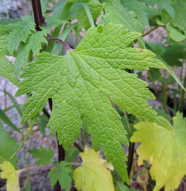 Leonurus cardiaca subsp. cardiaca - rohtonukulan subsp. lännenrohtonukulan alemmat lehdet ovat useimmiten herttatyviset ja noin 6-12 cm pitkät sekä leveimmältä kohtaa suunnilleen saman levyiset. Lehtien yläpuoli on vihreä ja vaihtelevasti lyhytkarvainen. Lehden koko suonitus on selvästi näkyvillä. EH, Hattula, Hurttala, keskiaikainen Pyhän Ristin kirkko, kirkkotarhaa ympäröivän kiviaidan laita, 8.7.2014. Copyright Hannu Kämäräinen.