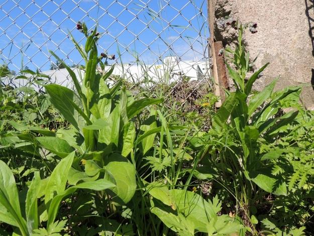 Cynoglossum officinale - rohtokoirankieli on kaksivuotinen. Niinpä runsaammissa kasvustoissa on samaan aikaan ensimmäisen vuoden iso- ja leveälehtisiä ruusukkeita ja toisen vuoden kukkavarsia. Pääjuuri on usein pitkä ja vankka sekä voi toisinaan haaroa yläpäästään. Tällöin kukkavarrellisen, toisen vuoden yksilön viereen saattaa nousta useampia kukkavarsia tai myös lehtiruusukkeita. EH, Nokia, Myllyhaka, Raision Melian myllyalue Rounionkadun ja rautatien välissä, aidatun myllyalueen kulma radanvarressa, 21.6.2016. Copyright Hannu Kämäräinen.