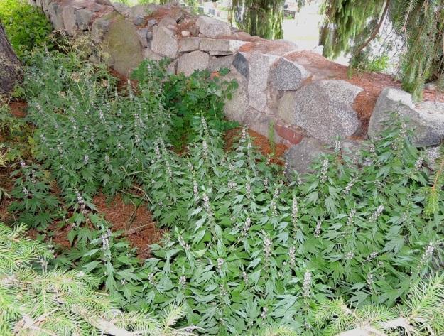 Leonurus cardiaca subsp. cardiaca - rohtonukula subsp. lännenrohtonukula voi haarovan juuristonsa ja varisevien hedelmystensä avulla muodostaa laajojakin ja vuosikymmeniä säilyviä kasvustoja. Se on alunperin tuotu sydäntä vahvistavaksi rohdoskasviksi Suomeen 1700-luvulla ja jäljellä olevat, harvat kasvupaikat voivat vieläkin löytyä vanhan asutuksen piiristä. Taustalla, kiviaidan vieressä kasvaa toinen, vanha lääkekasvi keltamo, Chelidonium majus. EH, Hattula, Hurttala, keskiaikainen Pyhän Ristin kirkko, kirkkotarhaa ympäröivän kiviaidan laita, 30.7.2015. Copyright Hannu Kämäräinen.