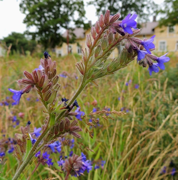 Anchusa officinalis - rohtorastin kukat ovat yksipuolisesti kukintohaaran yläpinnalla. Haarat ovat aluksi alaspäin kaartuvia kiemuroita, joissa kukat avautuvat tyvestä alkaen kärkeä kohti. Kiemura oikenee ja pitenee kukinnan edetessä ja loppuvaiheessa kukkineita kukkia on jonomaisesti yleensä noin 15-30. St, Pori, Reposaari, koillisranta, entisen satama-alueen vanha painolastikenttä, niittyalue, 14.7.2014. Copyright Hannu Kämäräinen.