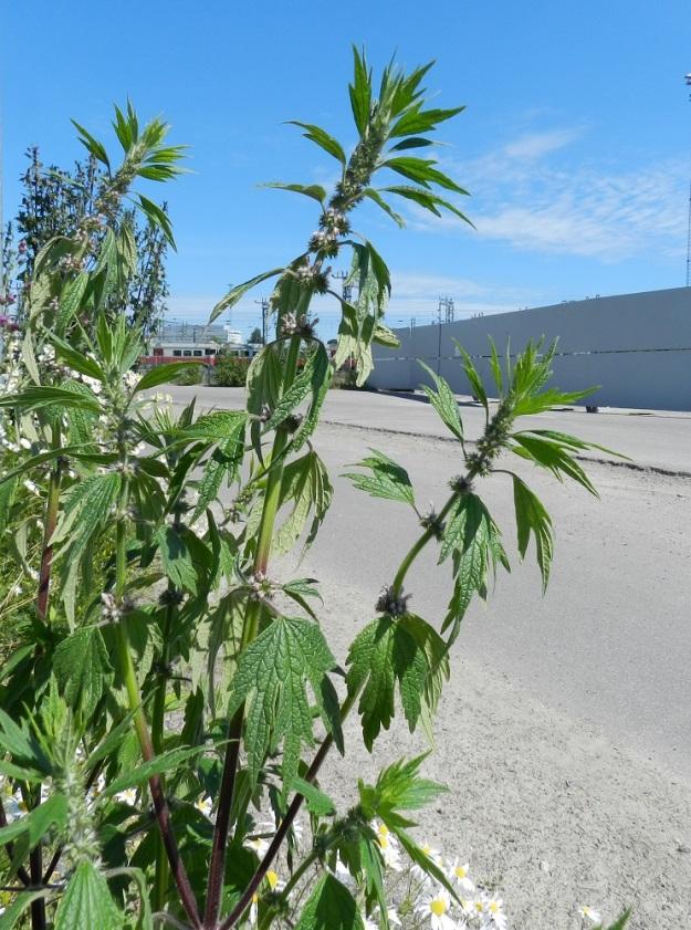 Leonurus cardiaca subsp. villosus - rohtonukulan subsp. villarohtonukulan varsien ja haarojen ylemmät lehdet toimivat kukkien tukilehtinä. Yleensä ne ovat päästään kolmiliuskaisia, mutta päävarrella alemmat tukilehdet voivat olla myös kuvan tavoin viisiliuskaisia ja muutenkin alempien varsilehtien kaltaisia. U, Helsinki, keskusta, Töölönlahden eteläpään kaakkoiskulman ja rata-alueen välinen joutomaa-alue Finlandia-talon pohjoispuolella, 6.7.2012. Copyright Hannu Kämäräinen.